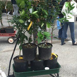 Urban Harvest Fruit Tree Sale